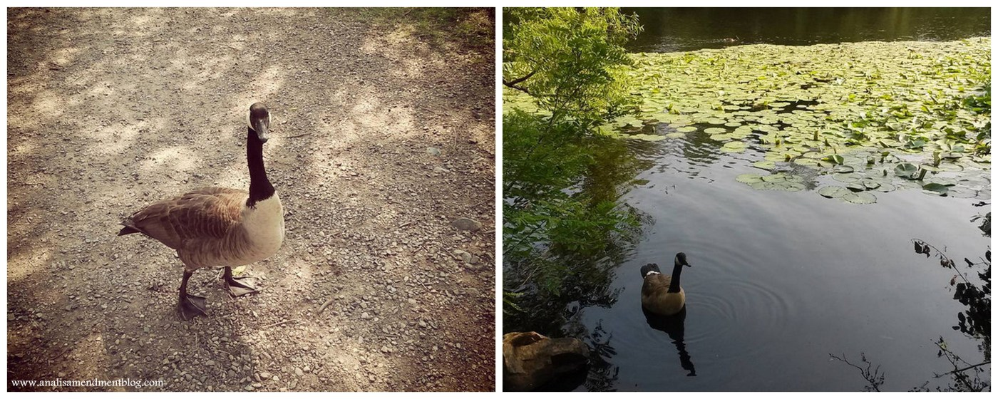 A collage of two pictures, a duck on the left standing on gravely ground, on the right a duck in water.