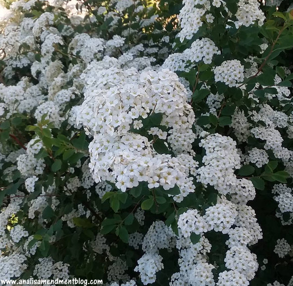 Green bush with small white flowers, like flowers you can buy fresh at farmers markets.