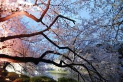 Hay más de cien variedades de cerezos en Japón; la más extendida es la someiyoshino. Este árbol, como todos los cerezos ornamentales, no da frutos, sino que se caracteriza por sus hermosas flores de cinco pétalos de color rosa pálido o blanco. Apenas alcanza los seis o siete metros de altura y tiene forma de V. Otra variedad destacada es la yamazakura, que suele crecer en las montañas, puede llegar a tener más de veinte metros de altura y sus flores son también de cinco pétalos y de un rosa un poco más intenso/ Foto: Turismo de Japón