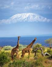 La sabana africana muestra en este parque todas sus caras: llanuras, bosquecillos de acacias, áreas rocosas y marismas. Esta diversidad atrae a un gran número de animales, especialmente aves, elefantes, jirafas y leones. Los safaris por esta reserva buscan, además, otro objetivo: fotografiar el Kilimanjaro (5.895 m), el techo de África, elevándose al otro lado de la frontera con Tanzania/ Foto: Huber Hans-Peter - Fototeca 9 X 12