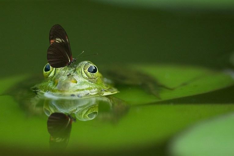 Los Maya tenían a la rana como símbolo de felicidad y si se colocaban al lado de las mariposas significaban libertad Fotos: Pixabay