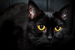 Por-que-los-gatos-negros-traen-mala-suerte-segun-la-creencia-popular-2