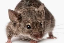 Photo of كيفية التخلص من الفئران فى المنزل