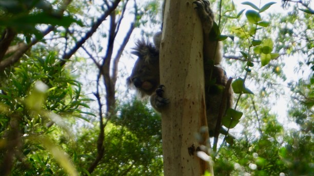 The koalas live in the wild, wherever there is a large eucalyptus forest