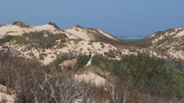 Only goats roaming in the dunes above the magnificent beaches