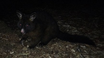 A nocturnal visitor to our camp - a possum!