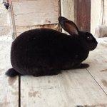 Lapin Rex - Noire femelle