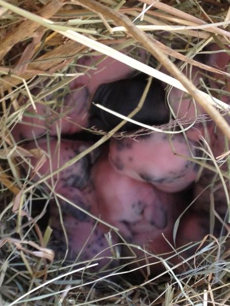 Bébés lapins rex