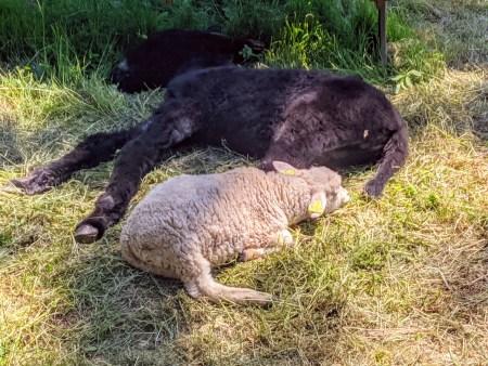 Lila la petite ânesse du Poitou est allongée. Sissi, petite agnelle blanche de 2 mois est également allongée à ses côtés. Toutes deux dorment paisiblement