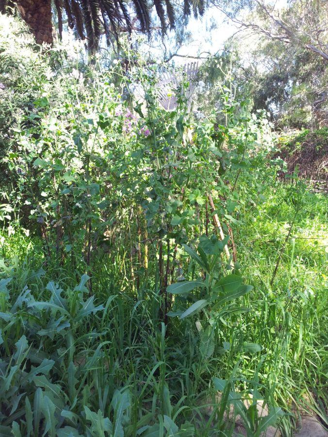 Weeds taller than a rake