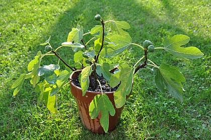Es gibt ihn noch, den Liebling der Anastratin-Leser, den Feigenbaum von anno 2008. Nun trägt er sogar Früchte!