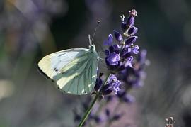 Weißling auf Lavendeldolde