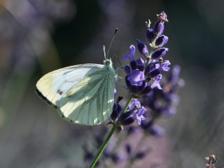 Weißling flügelt auf Lavendeldolde (Foto: Martin Dühning)