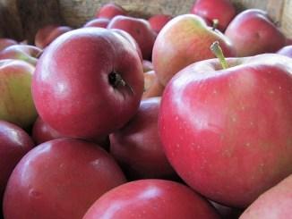 Beim Lauchringer Obst gibt es heuer durch Hagel große Ausfälle. Aber dann importieren wir halt einfach Äpfel von den familiären Plantagen in Bechtersbohl. Quitten freilich sind das trotzdem nicht...