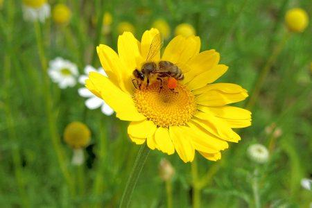 Bienchen sammeln fleißig Honig auf Kamille- und Arnikablüten - selbst am Fronleichnamstag 2012. (Foto: Martin Dühning)