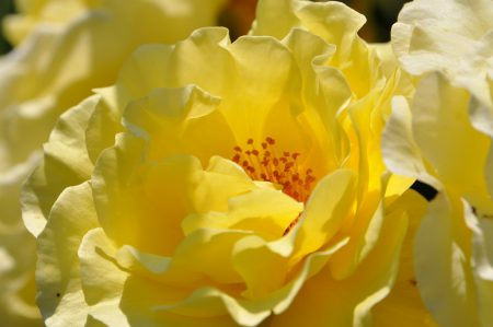 Goldgelbe Blütenpracht - die Rosen blühen dieses Jahr bis tief in den Juli hinein. (Foto: Martin Dühning)