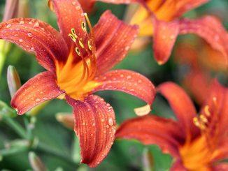 Feuerrote Feuerlilien sehen noch feuriger aus, wenn sie mit Wassertropfen benetzt sind. (Foto: Martin Dühning)