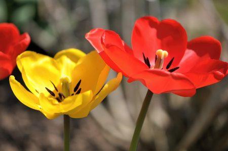 Den Tulpen wird die heiße Sonne schon wieder zuviel. Sie sind fast schon wieder verblüht.