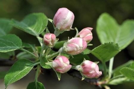 Der kleine Apfelbaum, gepflanzt im Herbst 2011, trägt nun erstmals zarte Apfelblüten.