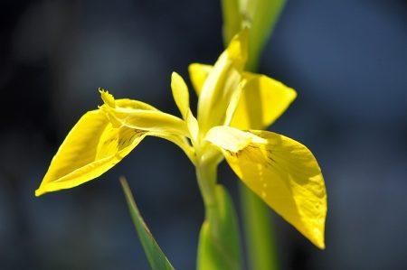 Eine quitschig zitronengelbe Teichlilie blüht vor ultramarinen Wassermassen. So schön kann Garten im Juni 2013 sein.