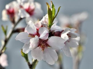 Mandelblüten im Frühling 2014