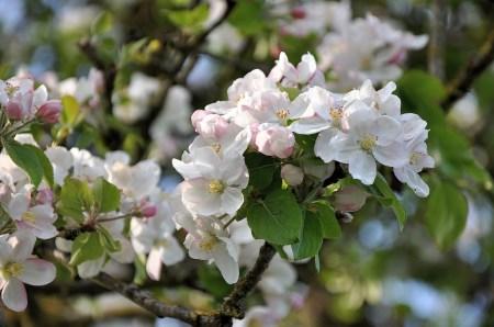 Apfelblüten im April 2014 (Foto: Martin Dühning)