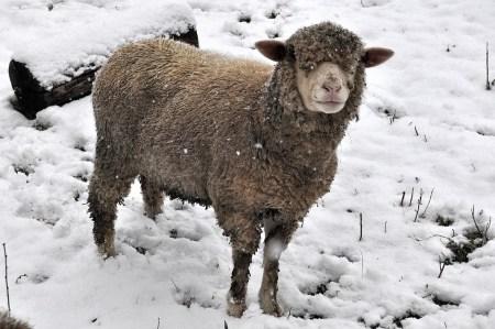 """""""Es gibt kein schlechtes Wetter, wenn man die passende Kleidung am Leib trägt."""" - nach diesem Motto leben die Lauchringer Winterschafe. (Foto: Martin Dühning)"""