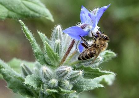 Honigbienchen auf wildem Borretsch - beide haben die Sommerdürre offenbar überstanden (Foto: Martin Dühning)