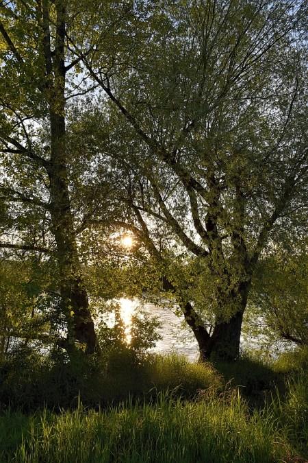 Sonnenuntergang zwischen frischen Frühlingsweidenzweigen (Foto: Martin Dühning)
