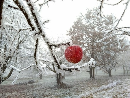 Winterlicher Dezemberapfel (Foto: Salome Leinarkunion)