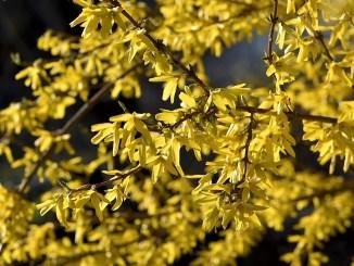 Das Gold der Forsythien ist ein untrügliches Zeichen dafür, dass der Frühling im heimischen Garten 2017 begonnen hat (Foto: Martin Dühning).