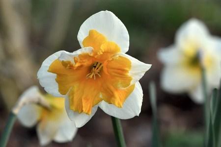 Auch die Narzissen stehen schon in voller Aprilblüte (Foto: Martin Dühning).