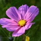 Der späten Sonne lichte Blüten