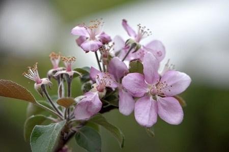 Ein paar letzte Apfelblüten - schon verblichen (Foto: Martin Dühning)