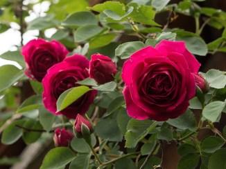 Auch 2018 sind Opas 50 Jahre alte Rosen wieder mit dabei (Foto: Martin Dühning).