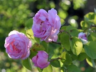 Englische Shakespeare-Rosen blühen in Altrosa, so prächtig wie selten zuvor. (Foto: Martin Dühning)