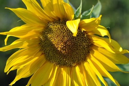 Eine der größeren Sonnenblumen - die meisten im September 2018 haben aber eher Zwergfeengröße (Foto: Martin Dühning).