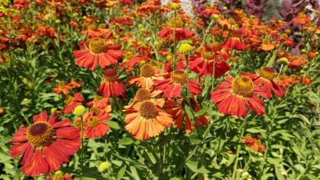 Rote Korbblütler (Foto: Martin Dühning)