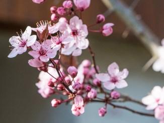 Die Japanische Kirsche blüht in voller Pracht (Foto: Martin Dühning).