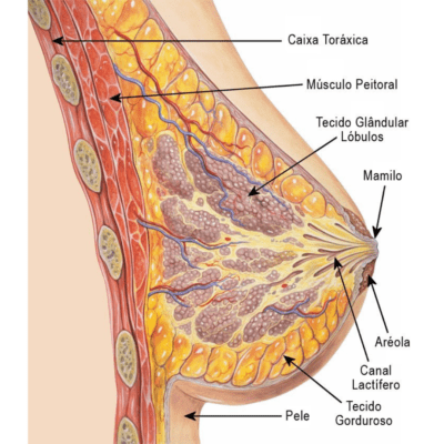 glandula mamária