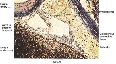 Plate 9 168 Lymphatic Vessel