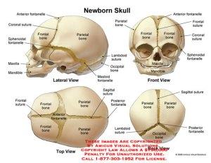 (08007_04X) Newborn Skull – Anatomy Exhibits