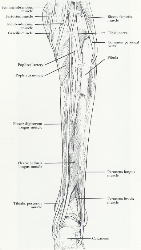 Gastrocnemius Muscle And Nerves Anatomy