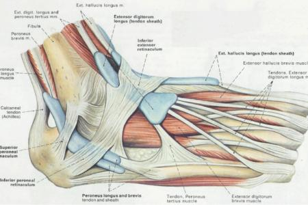 interior calcaneonavicular ligament » Full HD MAPS Locations ...