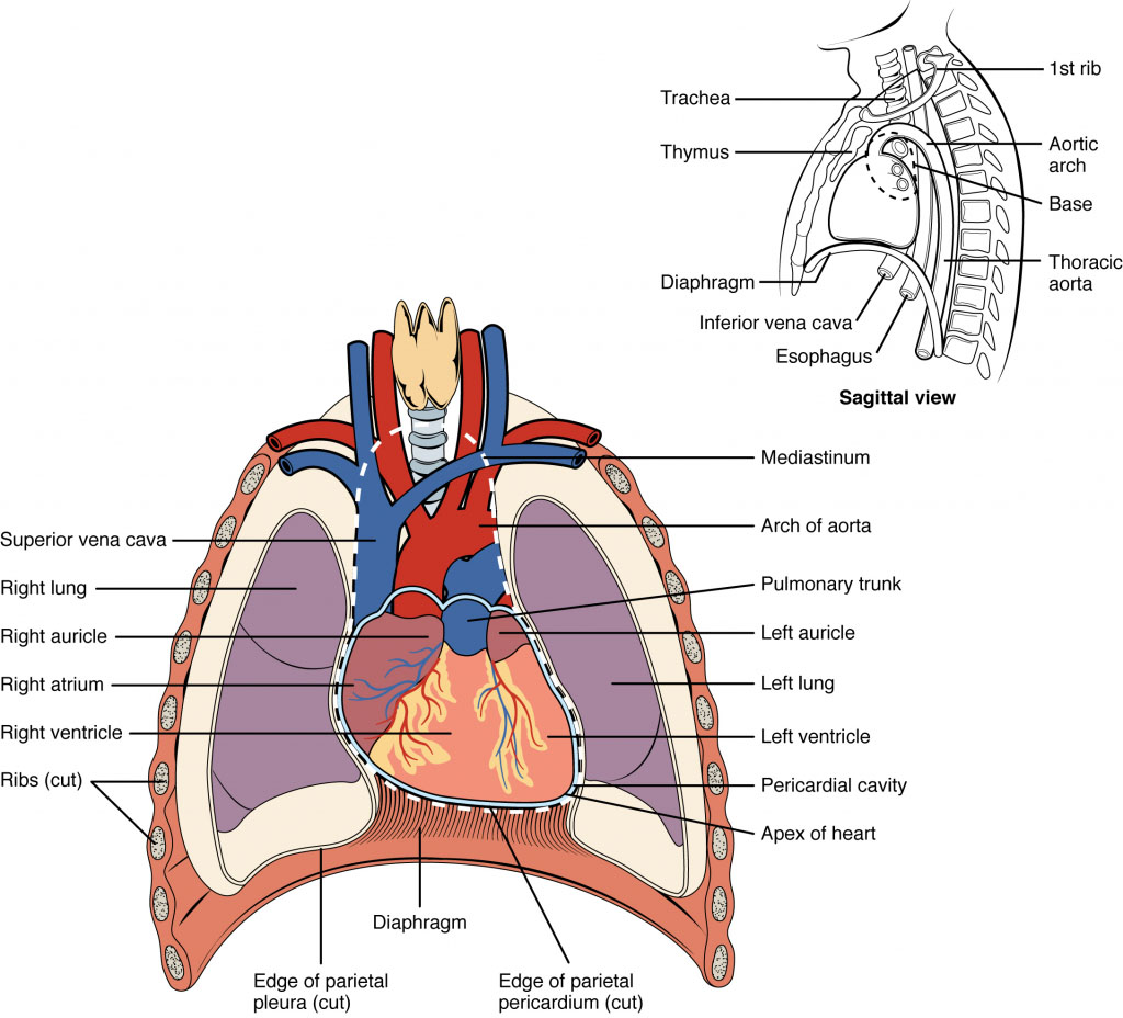 Thorax Chest Anatomy Archives