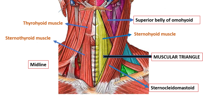 Anterior Triangle Of Neck Submental And Muscular
