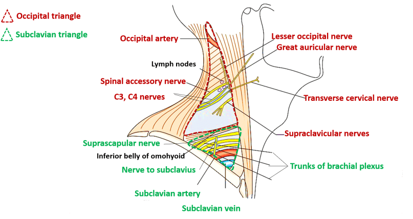 Posterior Triangle Of Neck