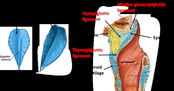 Larynx Anatomy Qa
