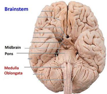 Brainstem parts