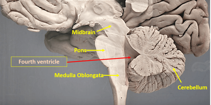 Fourth ventricle - location